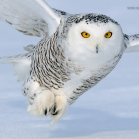 Snowy Owl by Scott Linstead (scottlinstead)) on 500px.com