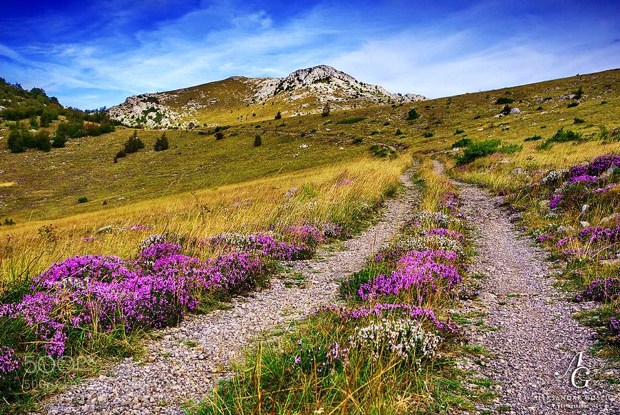 Through the neverlands of Velebit, strewn with Winter Savory (Satureja Montana)