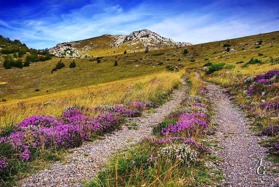 Through the neverlands of Velebit, strewn with Winter Savory (Satureja Montana)