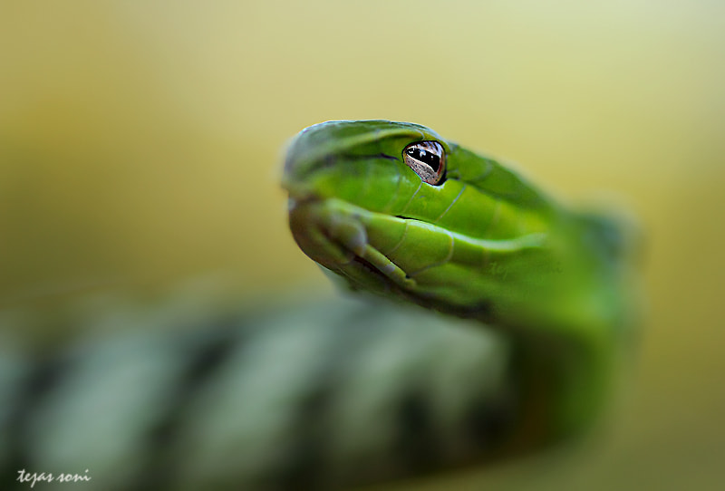 Photograph GREEN VINE SNAKE by Tejas Soni on 500px