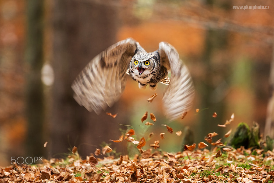 Photograph Great Horned Owl by Peter Krejzl on 500px