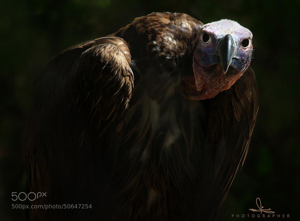 Photograph Eagle by Othman Al.mashan on 500px