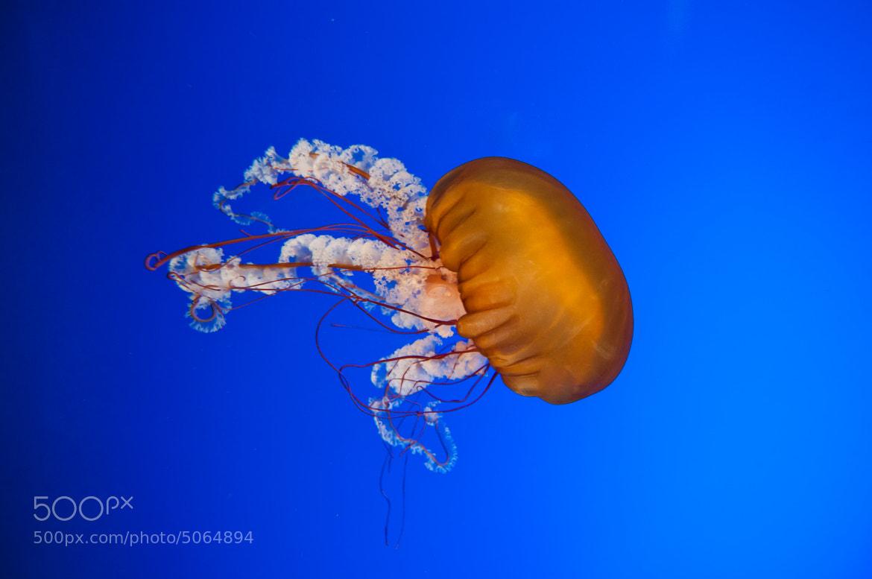 Photograph jellyfish #3 by Ramon Quiñonero on 500px
