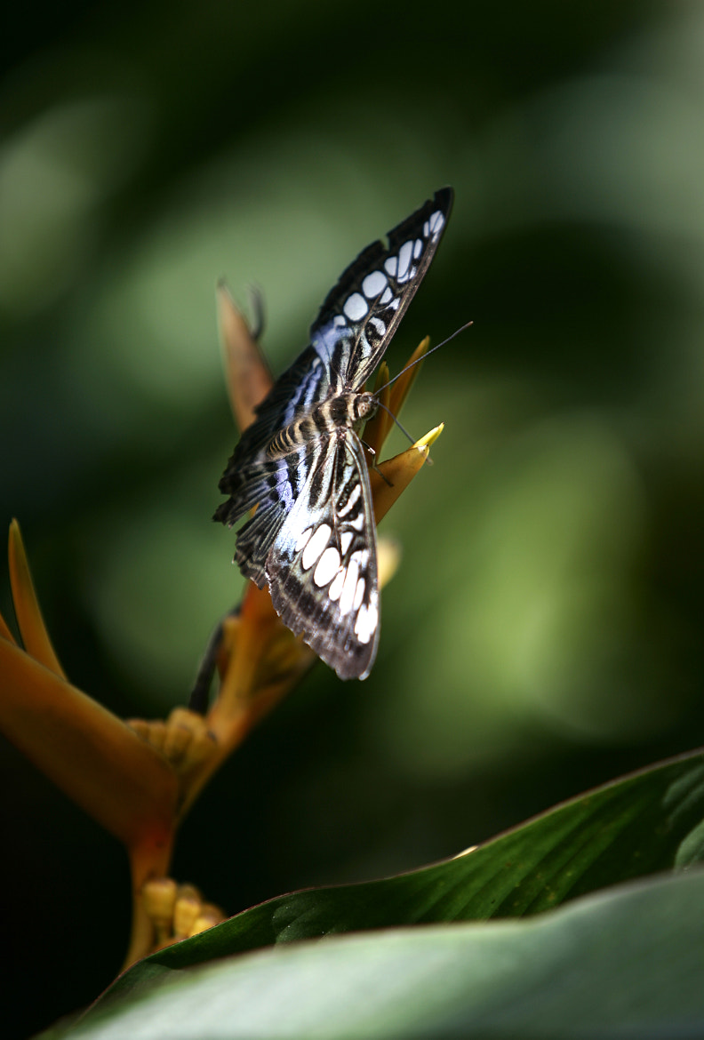 Photograph Butterfly by Michelle Kroll on 500px