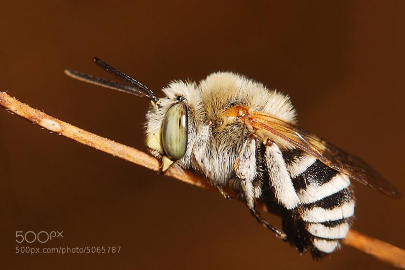 Photograph anthophora bimaculata  by mazouz abdelaziz on 500px