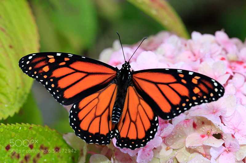 Photograph Monarch by Steve Shuey on 500px