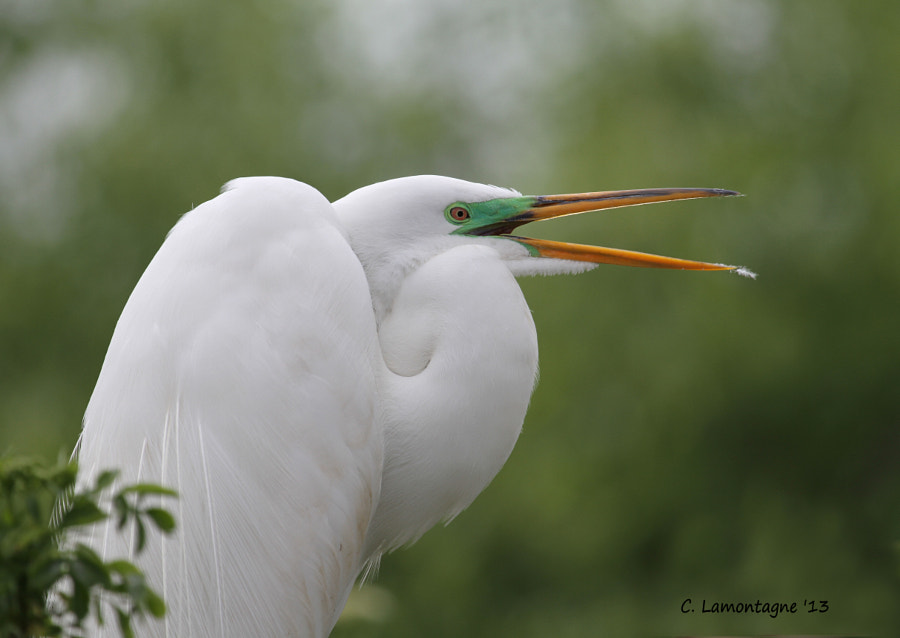 Great Egret in breeding colors.