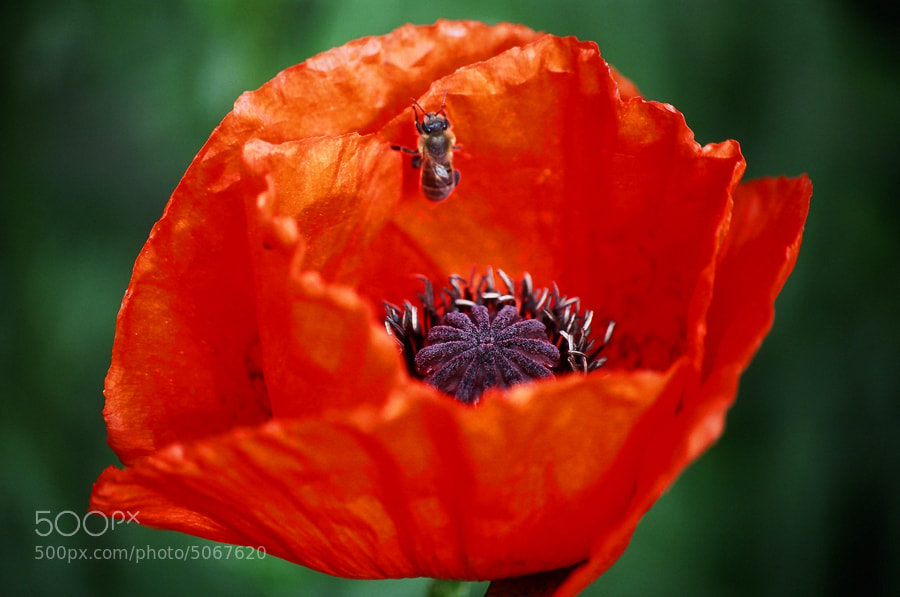 Photograph Red poppy by Roman Sayko on 500px