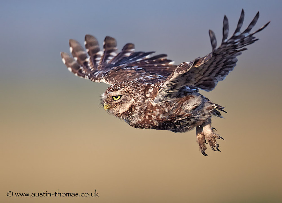 A Little Owl in flight...