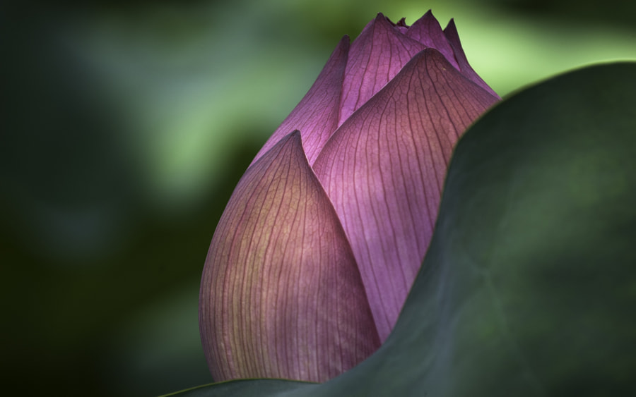 Lotus Bud by James Fichera on 500px.com
