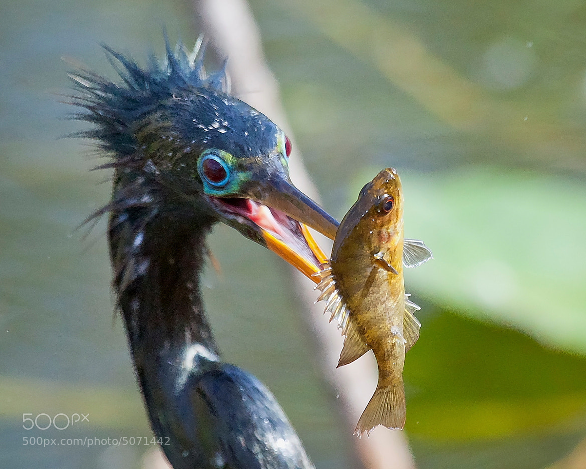 Photograph Anhinga and Fish by Miguel Angel Leyva on 500px