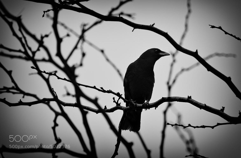 Photograph Crow by Enrique Bosquet on 500px