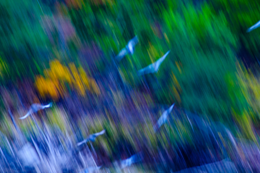 Taking timed photography at the Falls, I noticed a flock of pigeons setting off into flight.  I mover the camera quickly caught the pigeons in flight with the colors of the trees in the background all blurred.  Like an abstract painting.  Thougt it very interesting.  Want to see if it flies here.