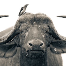 Buffalo With A Bird by Mario Moreno (mariomoreno)) on 500px.com