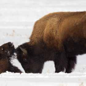 Last Moments of a Bison Calf (Please please take a few minutes to read the whole story) by Tin Man (tinman) on 500px.com