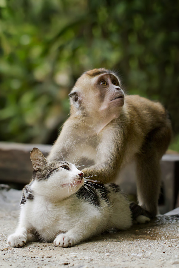 Photograph cat and monkey playing by  Hendy Mp on 500px