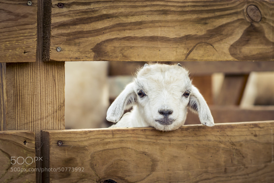 Photograph A Lucky Lamb by Amine Fassi on 500px