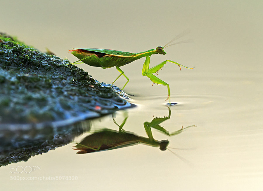 Photograph mantis by shikhei goh on 500px