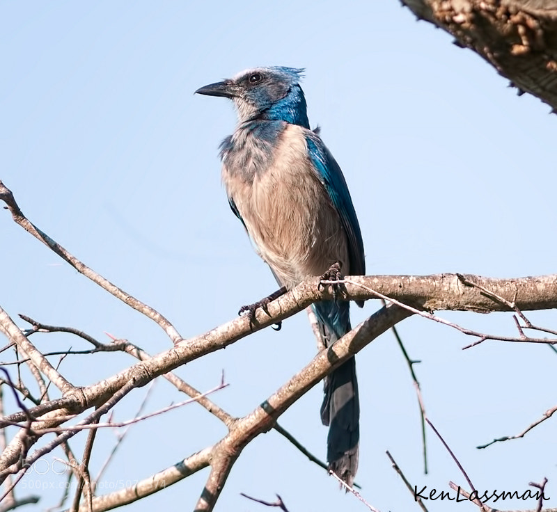 The Florida Scrub Jay is endemic to Florida meaning it cannot be found in the wild anywhere else in the world.  Unfortunately they are endangered due to urban expansion.  It is estimated that there may be less than 2000 remaining.  This is the first time I have seen one and feel very priveleged to have had the opportunity to photograph this beautiful bird