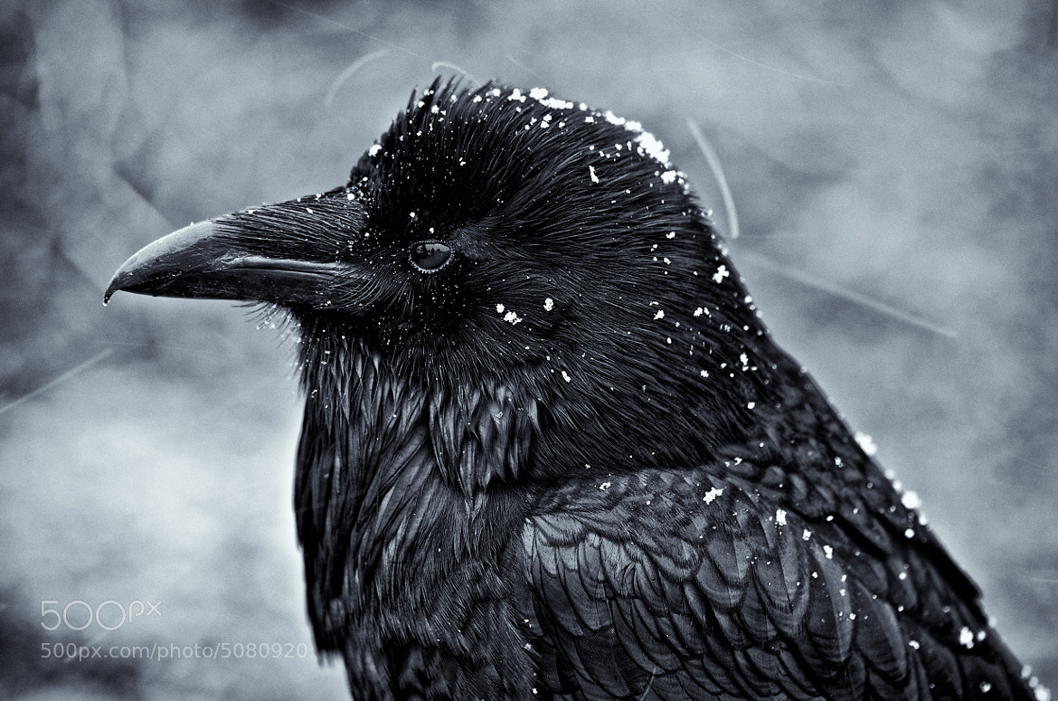Photograph Raven in snow by Greg Wiegand on 500px