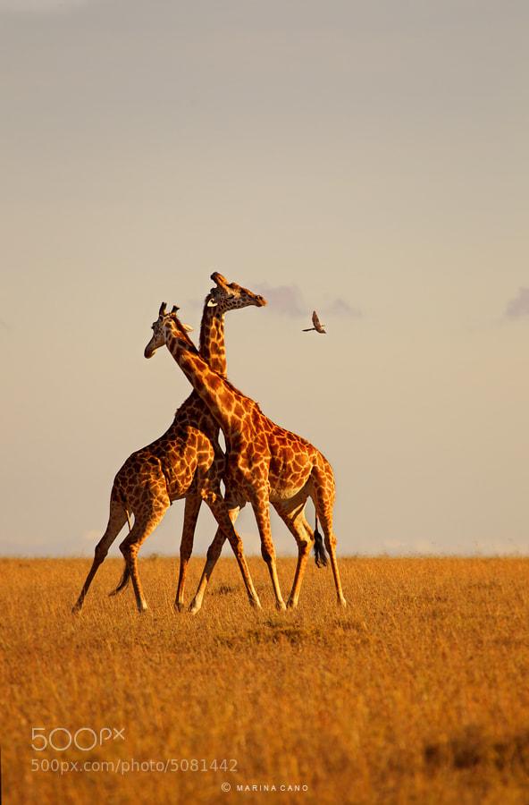 Photograph Wild Safari by Marina Cano on 500px