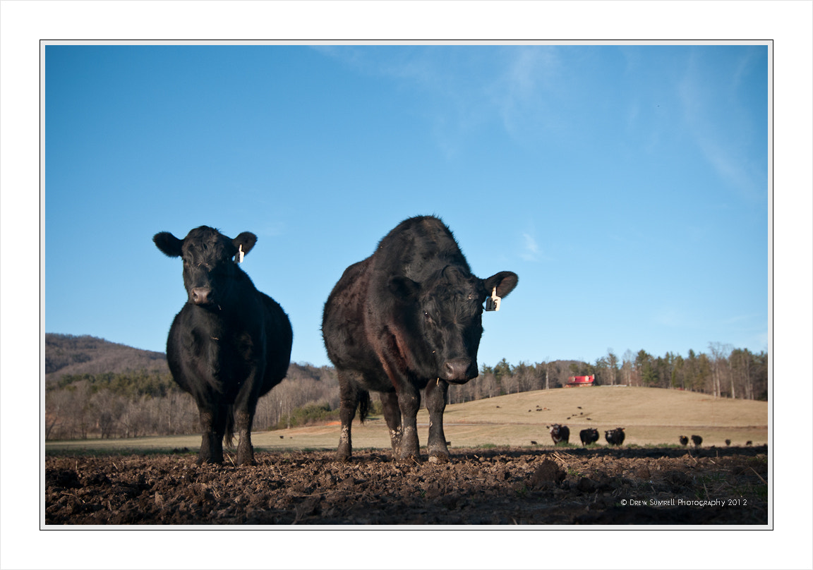 Photograph Bovine Stare by Drew Sumrell on 500px