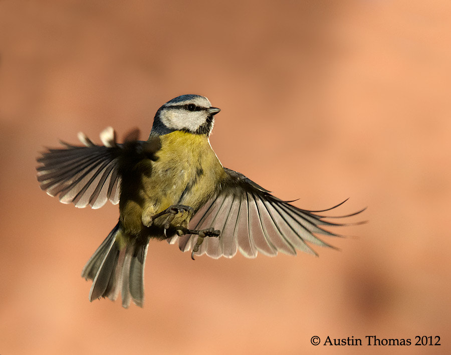 A Dancing Blue Tit