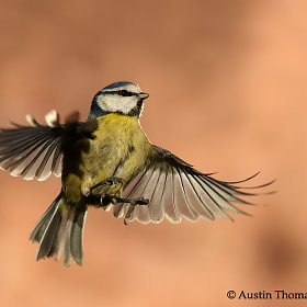 A Dancing Blue Tit by Austin Thomas (Austin_Thomas)) on 500px.com