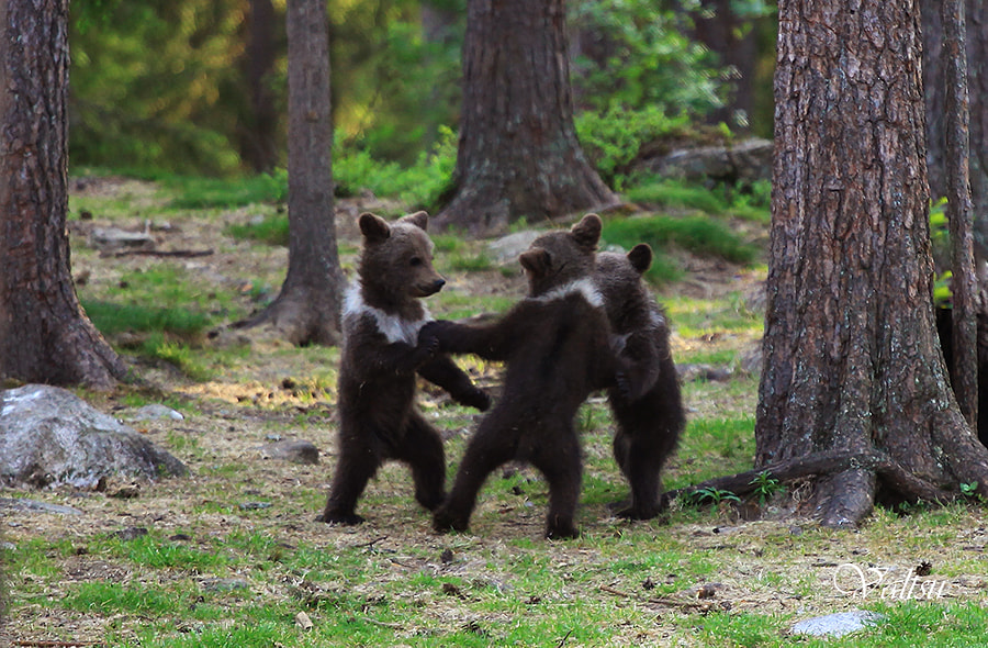 Finnish dancing bears ... by Valtteri Mulkahainen on 500px.com