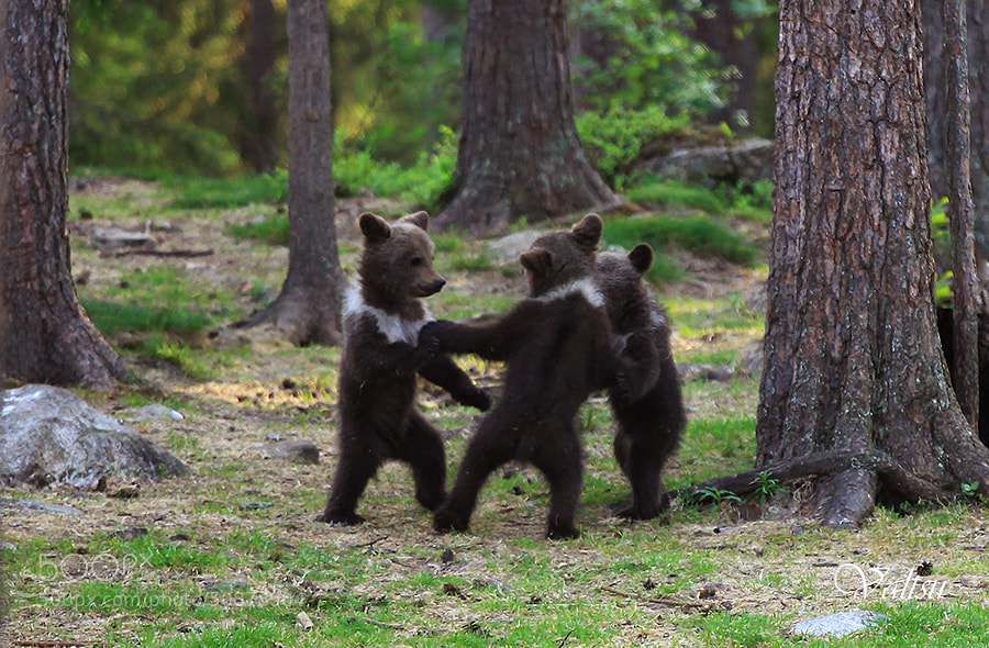 Photograph Finnish dancing bears ... by Valtteri Mulkahainen on 500px