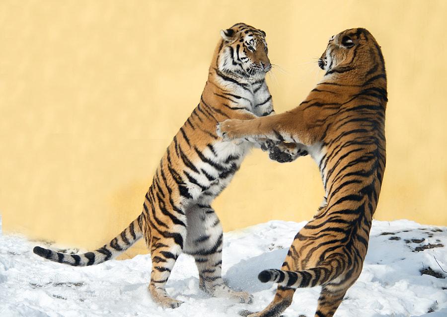 Tigerdancing 2 by Jutta Kirchner (juttakirchner) on 500px.com