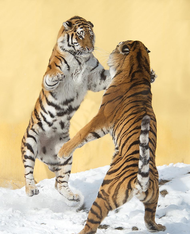 Photograph Tigerdancing 3 by Jutta Kirchner on 500px