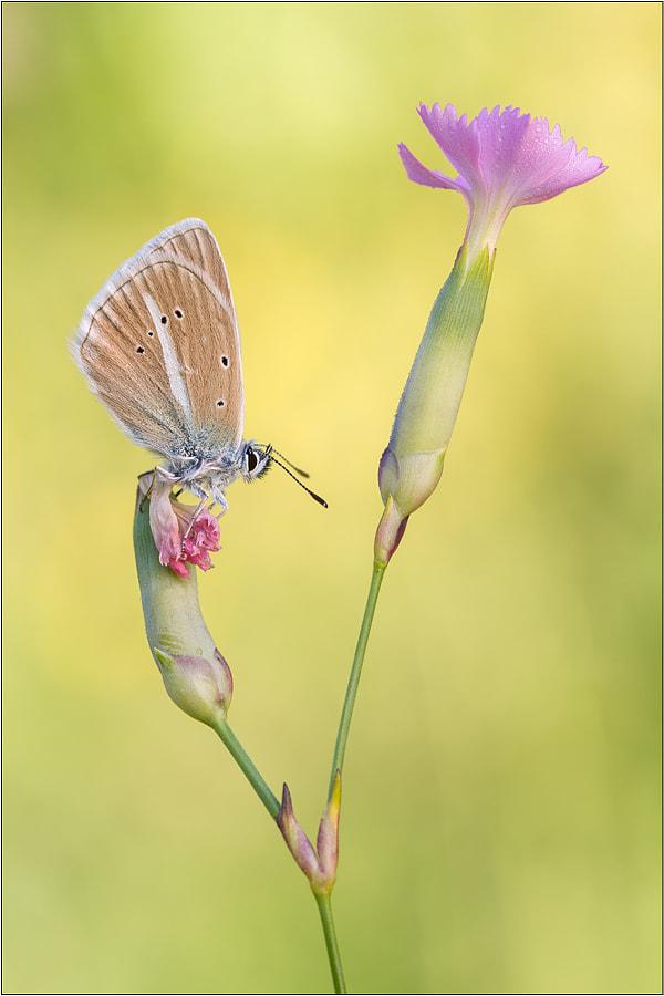 Polyommatus damon by Peter Schwarz on 500px.com