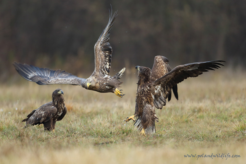 Photograph Kung fu eagle by Marcin Nawrocki on 500px