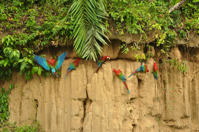 Photograph Red and Green Macaws at the Clay Lick by Anabela Salvador George on 500px