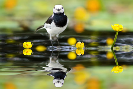 ~ White Wagtail ~