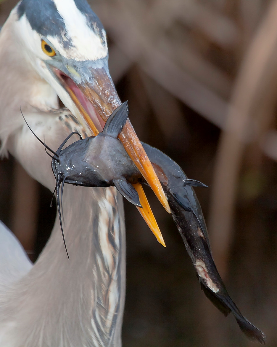 Photograph Great Blue Heron and Fish by Miguel Angel Leyva on 500px