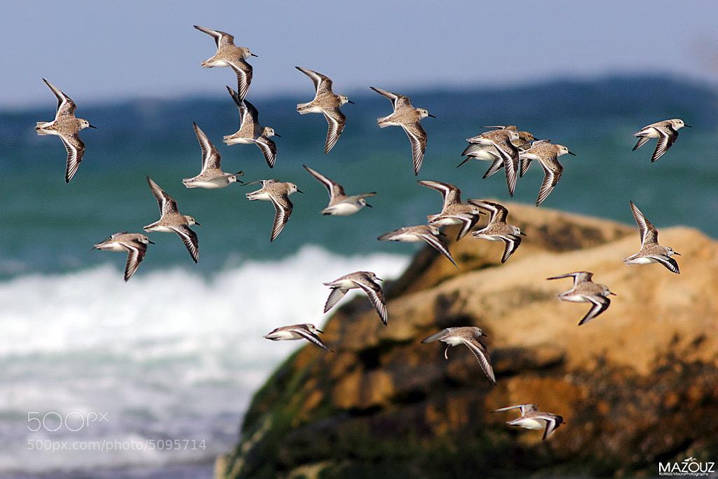Photograph Bécasseau sanderling by mazouz abdelaziz on 500px