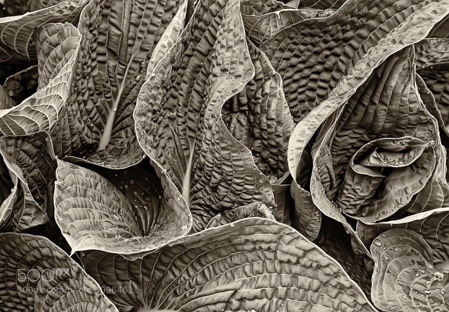 Hasta leaves in sepia