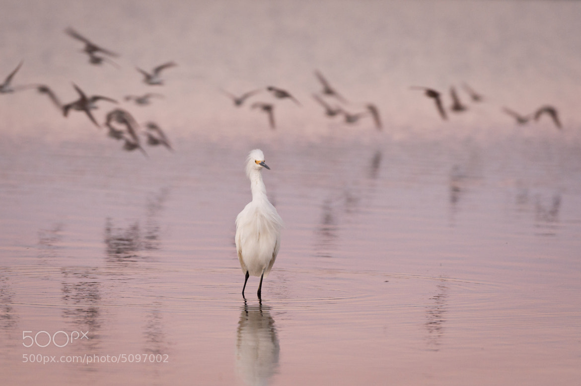 Photograph Snowy Egret by Dave K. on 500px