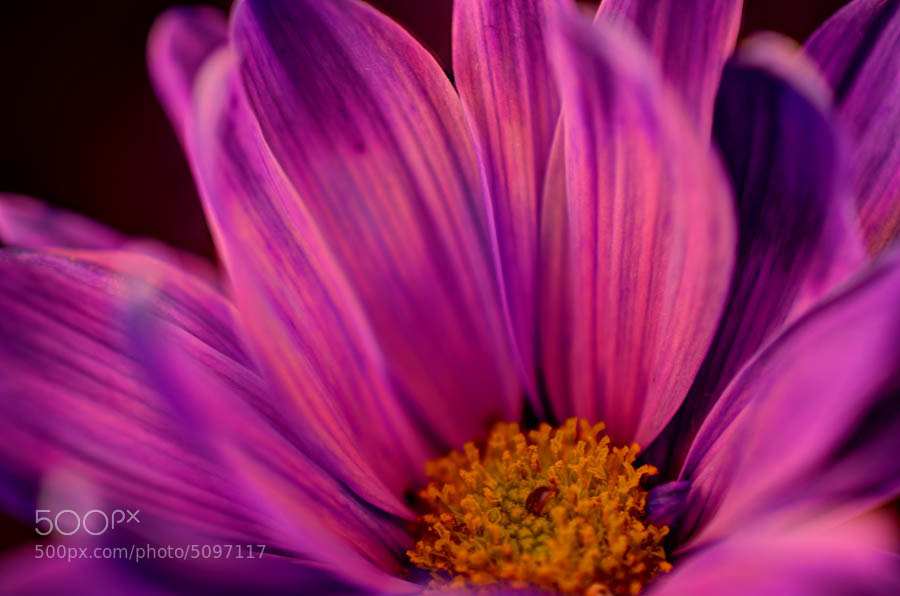 Photograph Purple Passion by Kyle Dyson on 500px