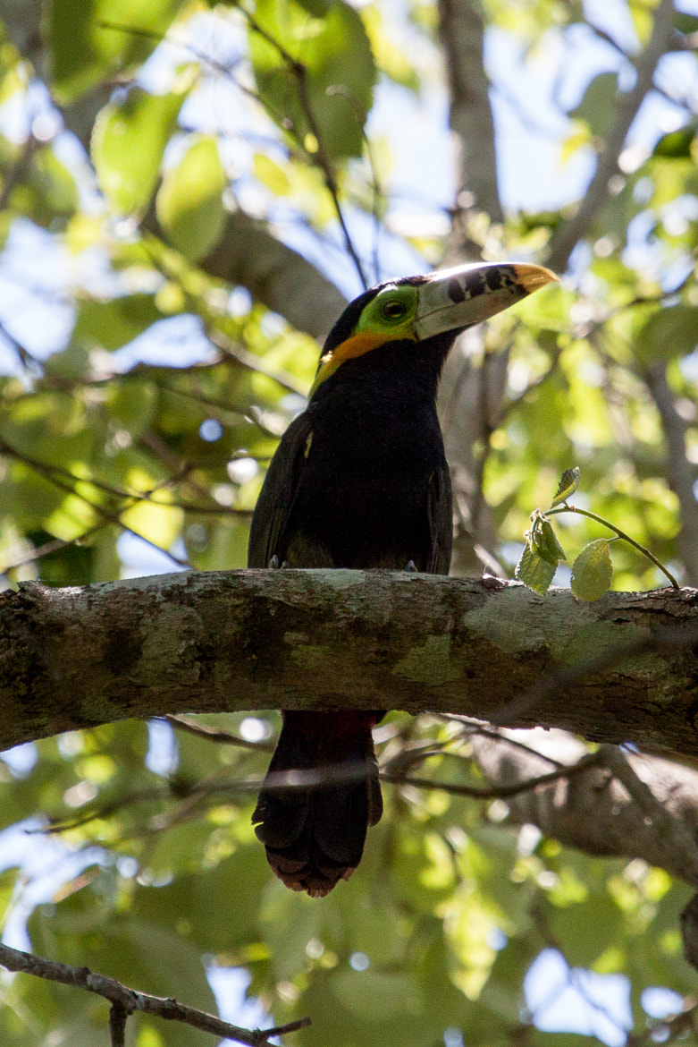 Photograph Spot-billed Toucanet by Kathrin Voss on 500px