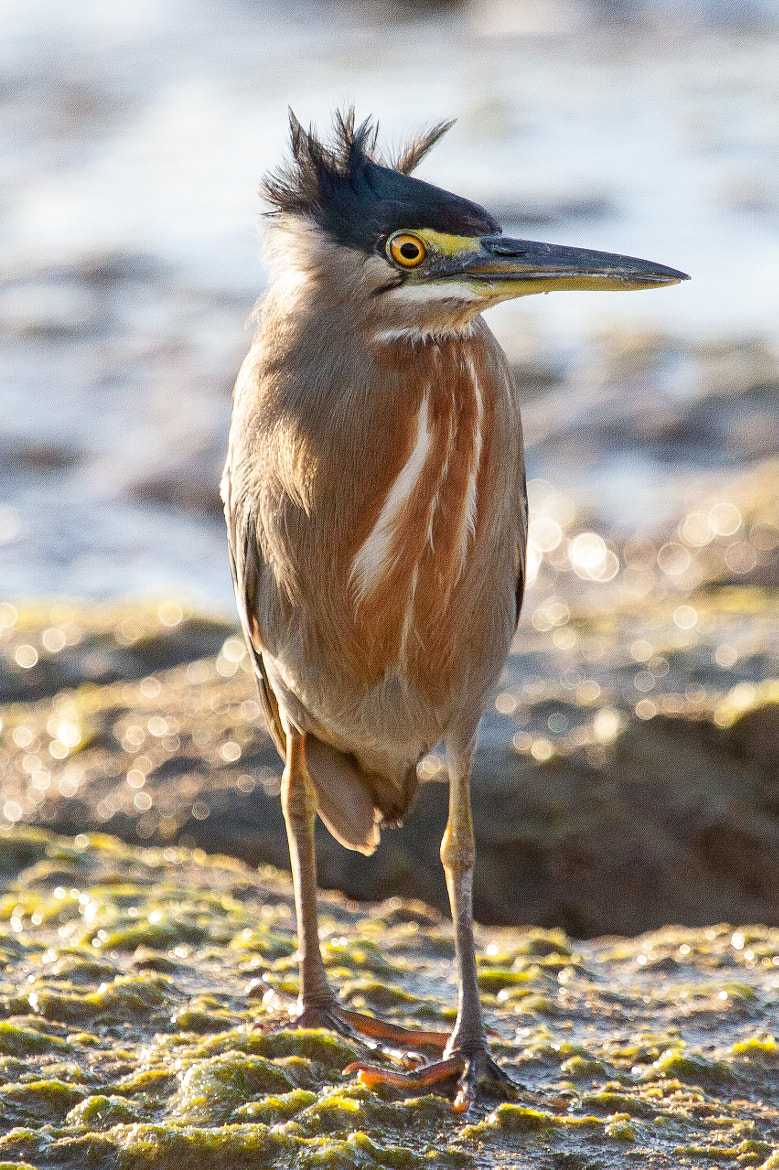 Photograph Striated Heron - windblown hairstyle by Kathrin Voss on 500px