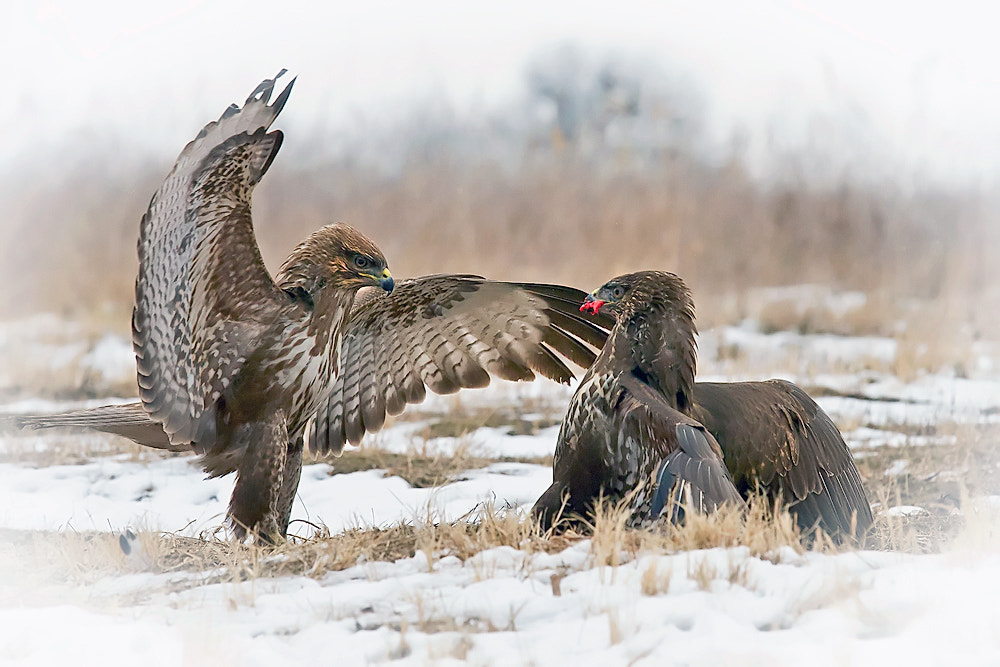 Photograph Fight by Peter Talos on 500px