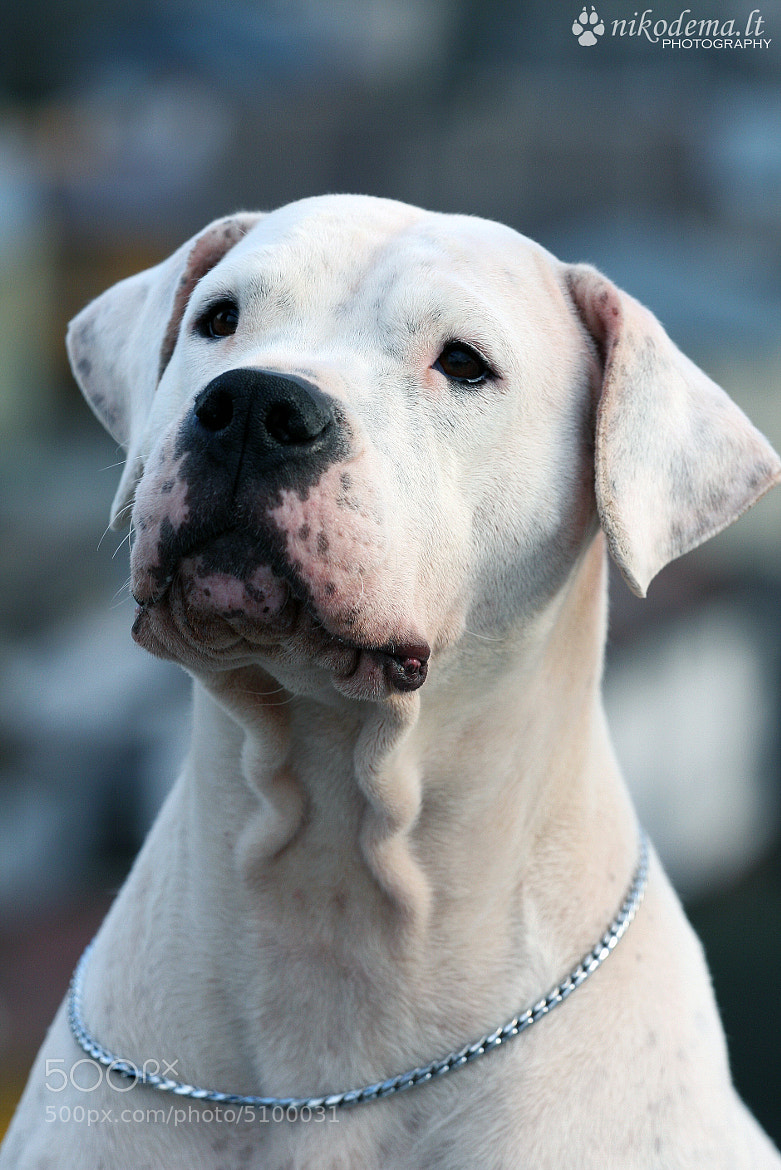Photograph Dogo Argentino by Sandra (Nikodema) on 500px