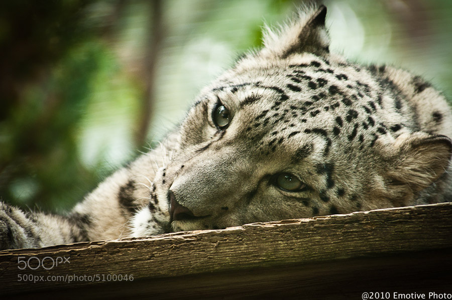 Photograph Snow Leopard by Dean Borojevic on 500px