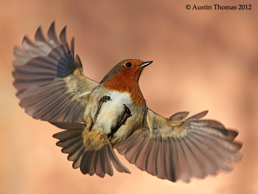 Photograph Upside down Robin by Austin Thomas on 500px