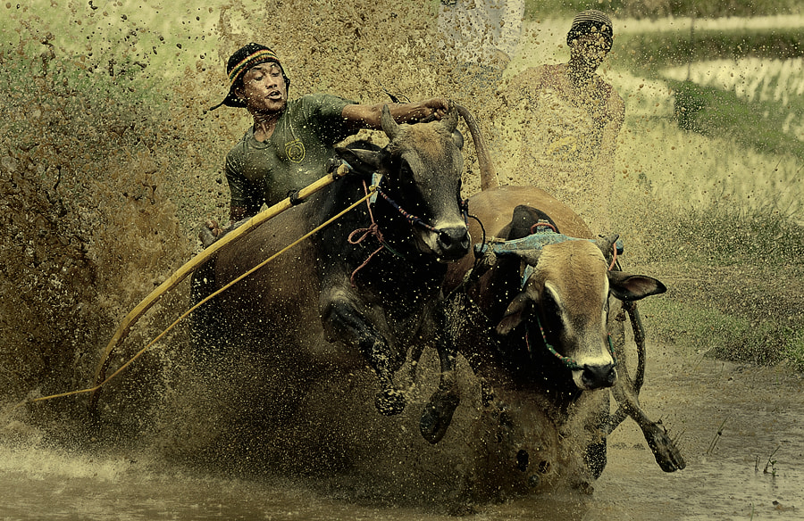 Photograph Pacu Jawi #2 ( Cow Racing ) by adib muhandis on 500px