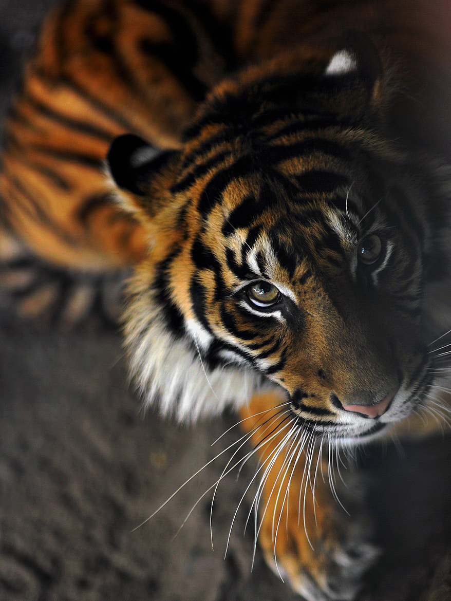 Photograph Tiger by Jasen Durant on 500px