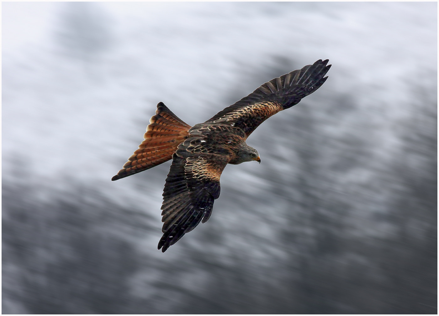 Photograph Red Kite in the snow by Alan Coles on 500px
